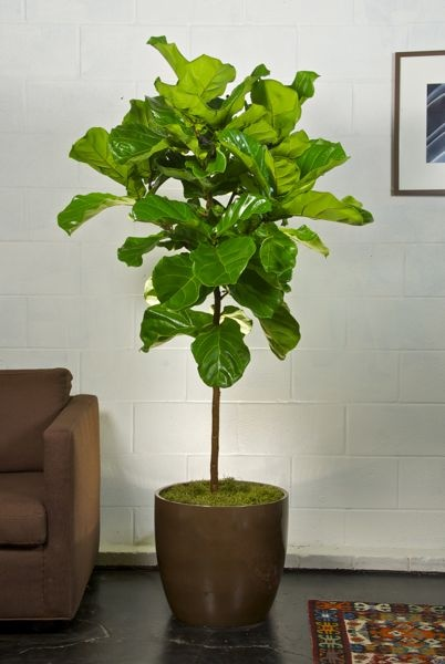 1000 Images About Potted Plants On Pinterest Fiddle Leaf Designer Pillow And A Tree