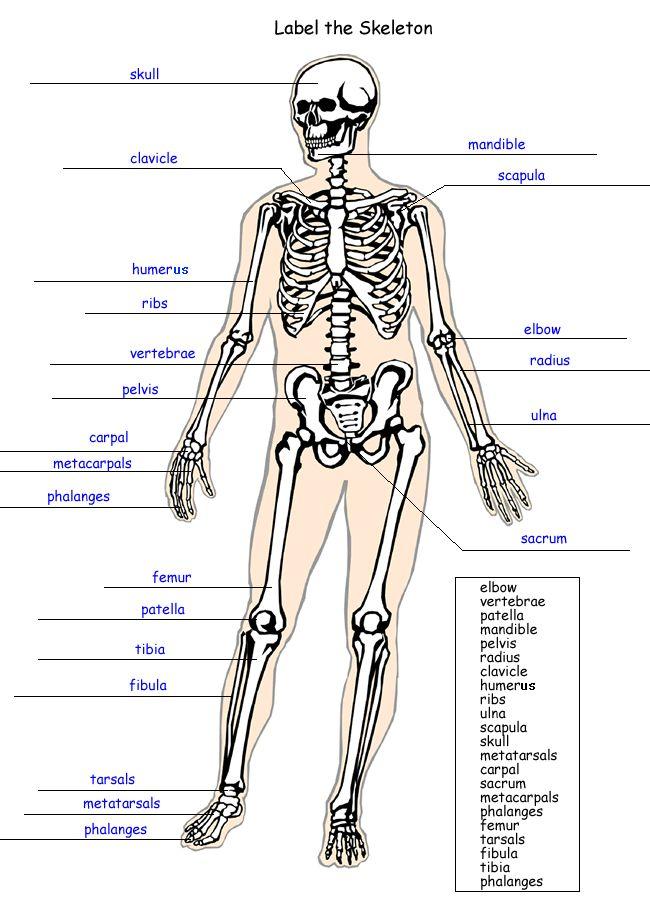 inside skull diagram 50cc quad wiring label the skeleton worksheet - homeschool helper | science pinterest ...