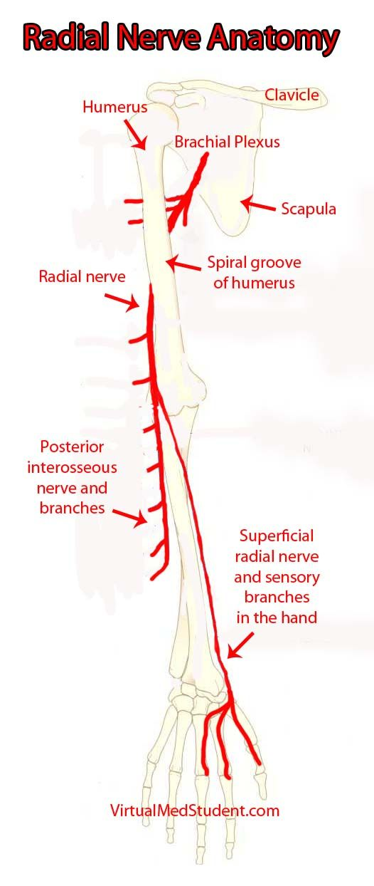 ulnar nerve diagram ge rr7 wiring radial great installation of the and its branches medicine diseases entrapment syndrome