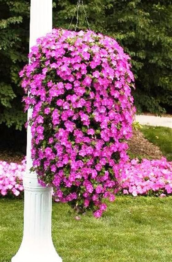 182 Best Images About PETUNIAS On Pinterest Planters Image
