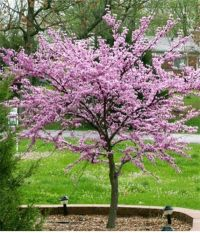 Best 25+ Redbud Trees ideas on Pinterest | Eastern redbud ...
