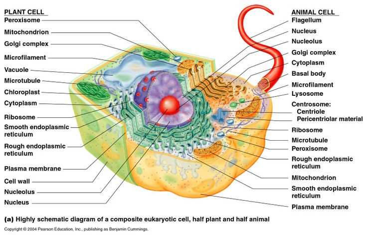 plant cell diagram project ideas honda z50 k1 wiring eukaryote - google search | eukaryotic cells pinterest and projects