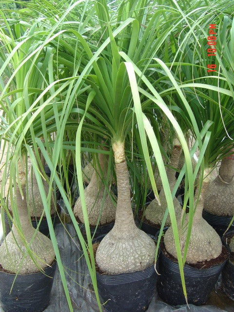 124 Best Images About IndoorOutdoor Plants Pony Tail Palm On Pinterest Trees Bonsai Trees