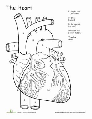 25+ best ideas about Circulatory system on Pinterest