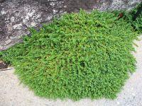 Green Carpet Rupturewort (Herniaria glabra) has tiny tight ...