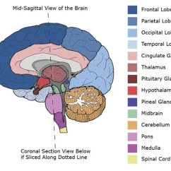 Left Side Brain Functions Diagram Trailer Harness Wiring Mid-sagittal Cross Section Of | Brainstorm Pinterest Anatomy, And ...