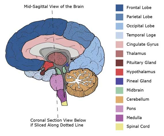 left side brain functions diagram room thermostat wiring mid-sagittal cross section of | brainstorm pinterest anatomy, and ...