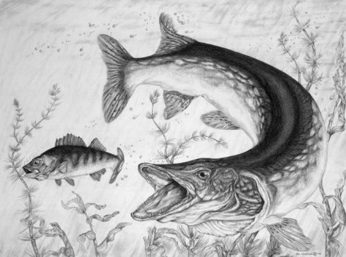 Fish Sketch Images Water Leopard Northern Pike Fish