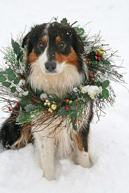 17 Best Ideas About Black Tri Australian Shepherd On