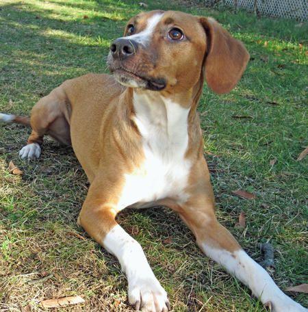Beagle  Italian Greyhound Mix  Pets  Other Cute Animals