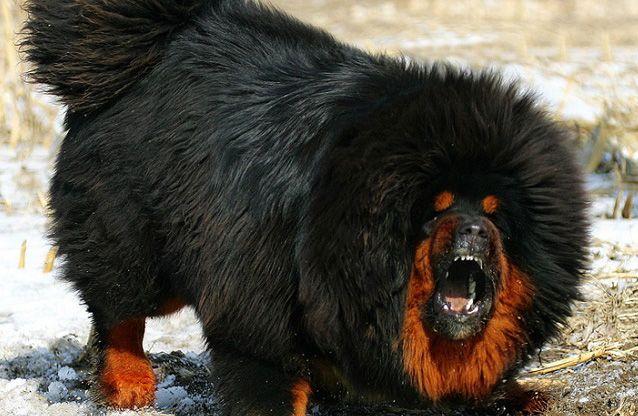 Saint Cute Puppy Hd Wallpaper Mastiff Tibetano Cachorros Pinterest