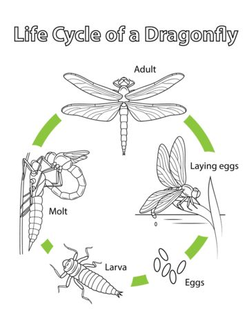 Best 25+ Dragonfly life cycle ideas on Pinterest