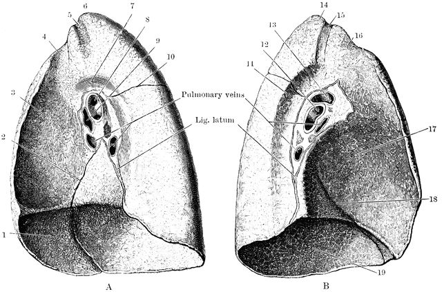 365 best images about Lungs and Chest on Pinterest