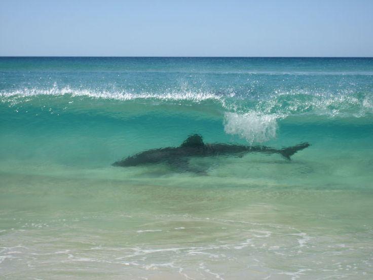 fraser island requin