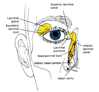 66 best images about Head and Neck Anatomy on Pinterest