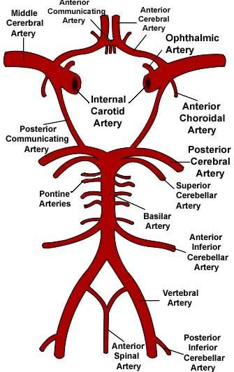 labeled diagram of heart on base plot pride and prejudice circle willis | us arteries pinterest anatomy medical