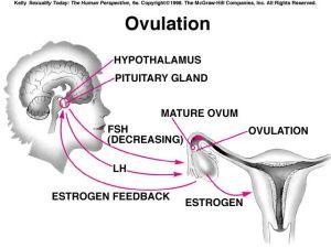 17 Best images about ovulation on Pinterest   Cervical