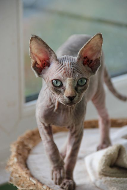 1000 Images About Hairless Animals On Pinterest Hairless Cats Sphynx And Hairless Kitten
