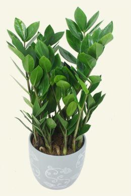 aroid palm sold at IKEA   A Garden Indoor Plants