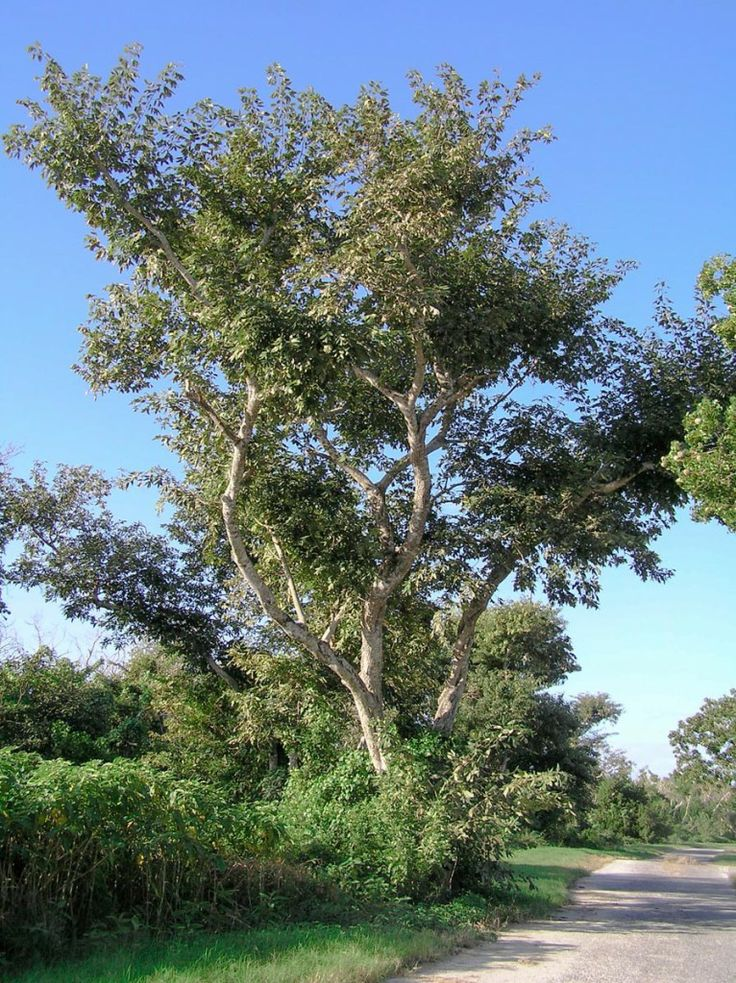 A detailed monograph on Jamaican Dogwood from 7Song of the
