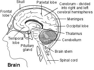 Cross-section diagram of the brain. Cancer of the brain