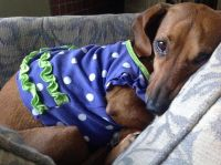 1000+ ideas about Dachshund Clothes on Pinterest