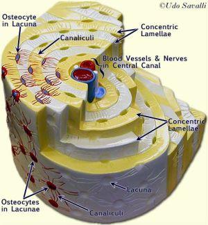 Osteon Model | A&P2SkinBoneMuscle | Pinterest | Models