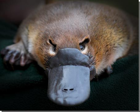 Cute Baby Shoes Wallpaper The Platypus Is The Most Unusual Animal On The Planet For