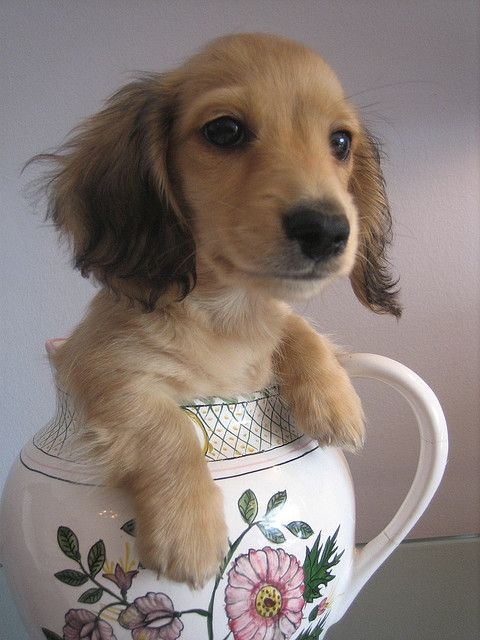 25 Best Ideas About Teacup Dachshund On Pinterest Baby