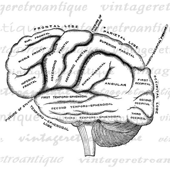 1000+ ideas about Brain Diagram on Pinterest