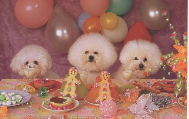 Papyrus Bichon Frise Birthday Card Products Pinterest