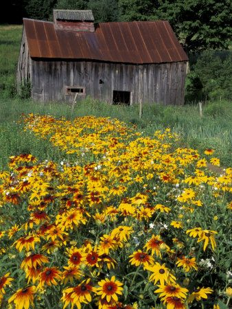 Black Eyed Susans and Barn, Vermont ~ by Darrell Gulin