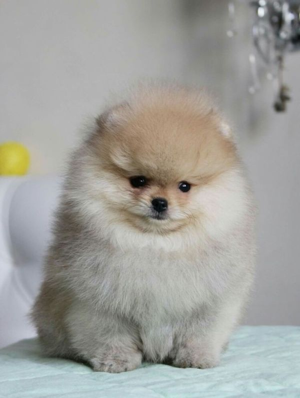 1000 ideas about Baby Pomeranian on Pinterest