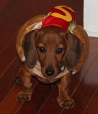 Dachshund puppy in a hot dog costume.. too cute!   hot ...