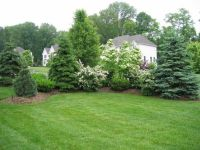 Privacy Landscaping with maturing evergreens and ...