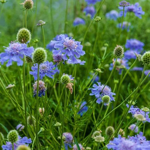 17 Best ideas about Scabiosa Columbaria on Pinterest