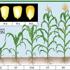 Corn Plant Life Cycle Diagram How To Draw A Bohr Planting Chart | Click On Each Growth Stage For Description) Credit: University Of ...