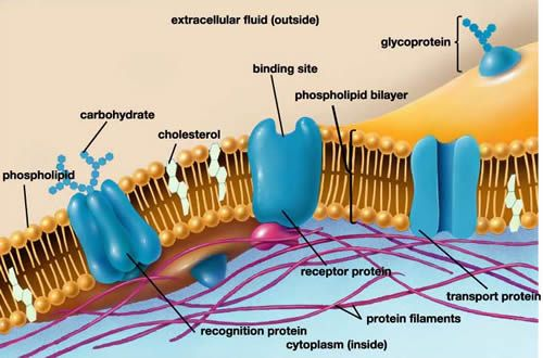 diagram of fluid mosaic model cell membrane network cat5 wiring labeled - bing images | biology pinterest search and image