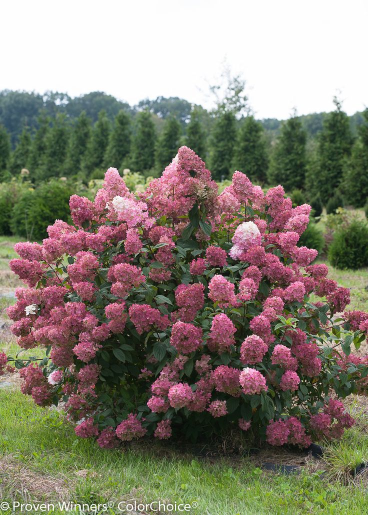 32 Best Images About Flowering Shrubs On Pinterest Ruby