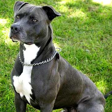 c5955c1199fc83d3dfe8f08af4a6a0ee Are Pitbulls Good Protection Dogs