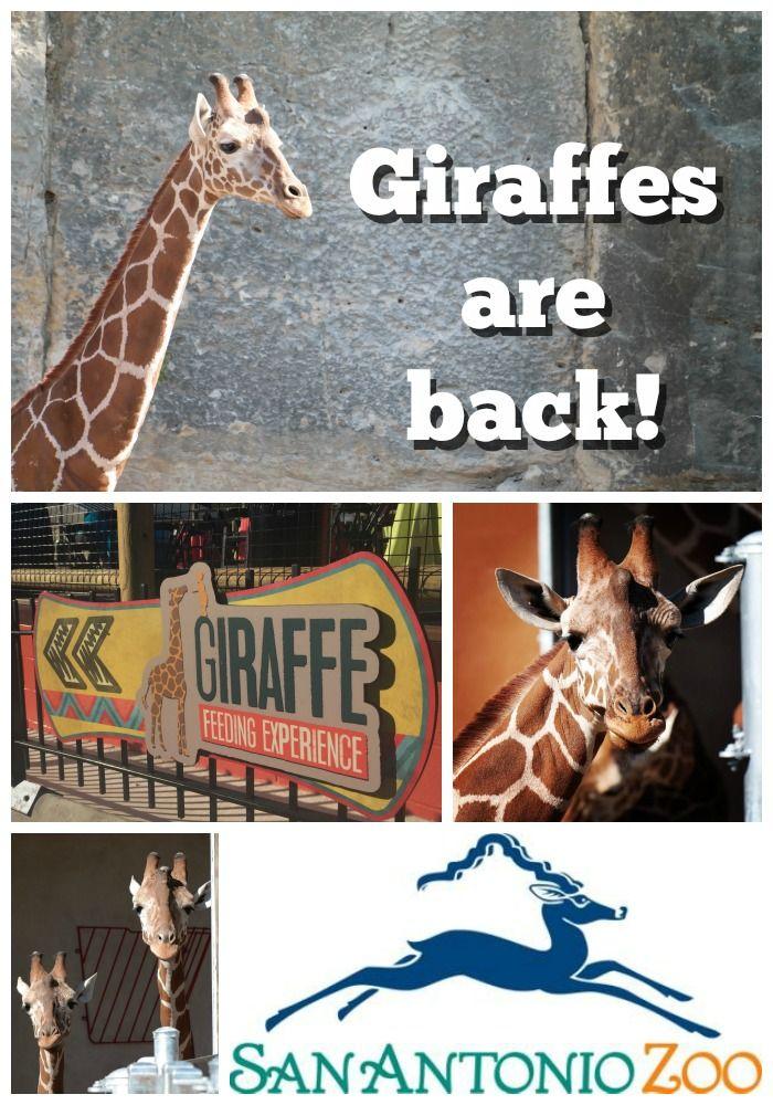 Giraffes Are Back At The San Antonio Zoo The O Jays