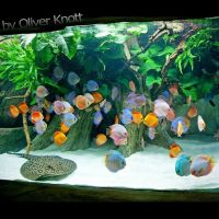 25+ best ideas about Discus on Pinterest | Discus fish ...