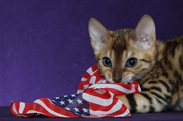 Cute Bengal Cats Wallpaper Bengal Kittens For Sale Maryland Nj Ny Pa Cats And