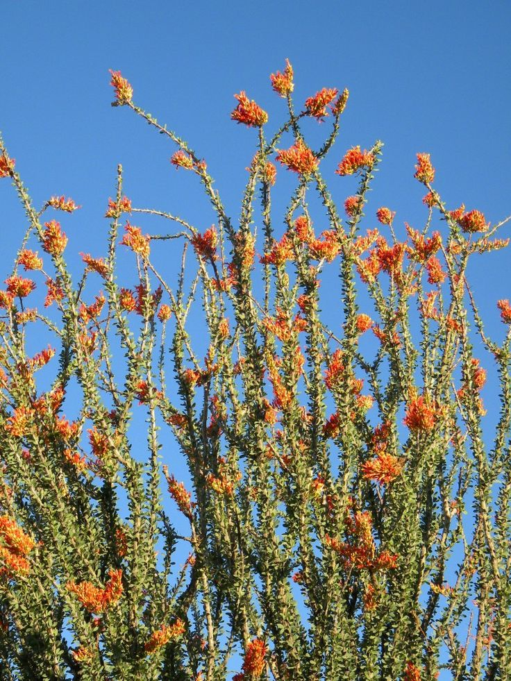 1000 Images About CactusDesert Blooms In New Mexico On