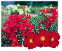 91 best images about Flower Carpet roses - mixed varieties ...