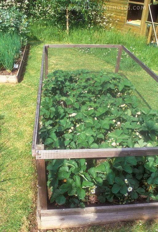 25 Best Ideas About Strawberry Patch On Pinterest Raised Beds