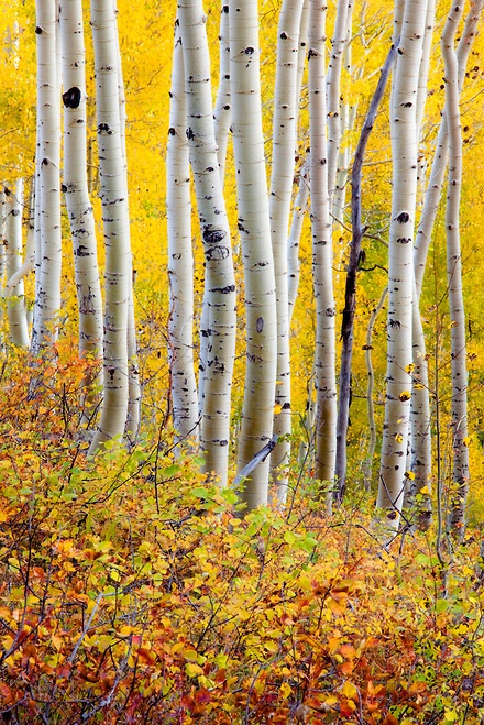 Fall Aspens Wallpaper Ohio Aspen And Birches On Pinterest