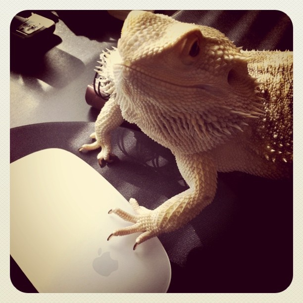 1000 Images About Bearded Dragons On Pinterest Its Always Pug Photos And Bearded Dragon