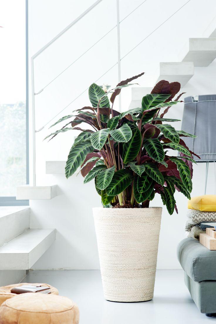 A Calathea houseplant in the home  CALATHEA  Pinterest