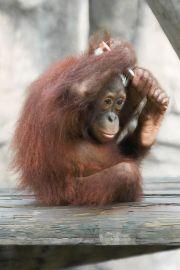 orangutan brushing hair. fast